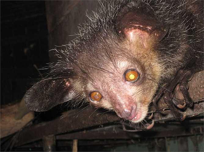 Chúng nổi bật với tai lớn sẫm màu và vểnh ra phía trước. Mõm tương đối nhọn. Mắt tròn, lớn và trố.