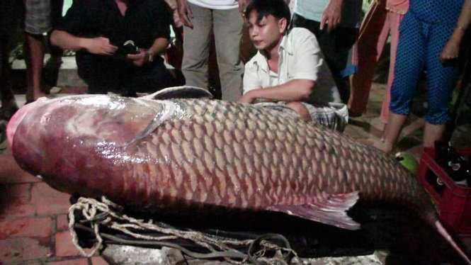 Cá hô lưới được trên sông Cổ Chiên tháng 12-2014 - Ảnh: Đại Việt