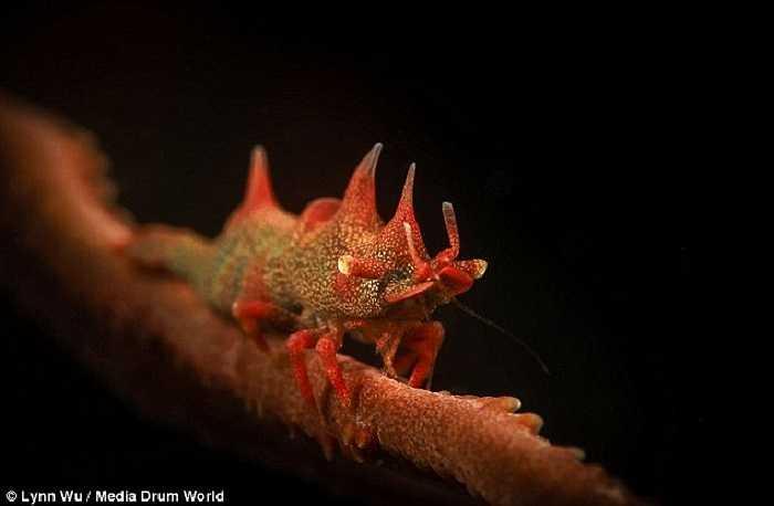 Con tôm rồng với bộ giáp màu đỏ rực rỡ có họ hàng với loài tôm tít đang bám vào một mảnh san hô dưới đáy biển Thái Bình Dương