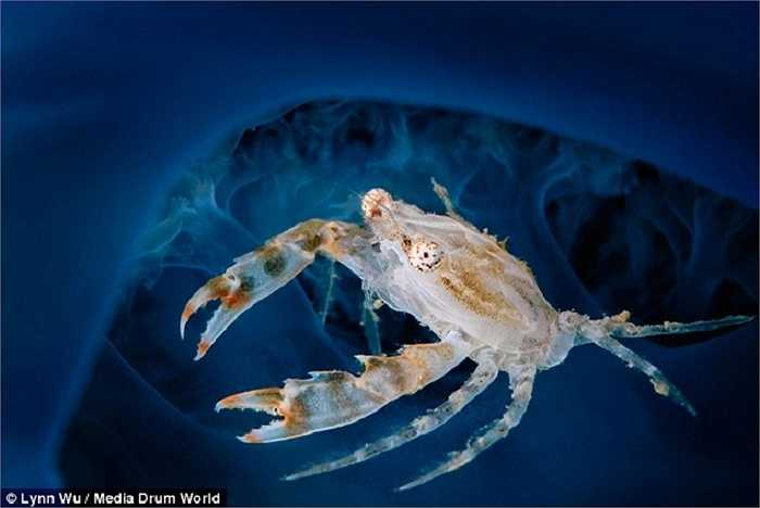 Một con cua với thân hình trong suốt xin quá giang một con sứa màu xanh nước biển