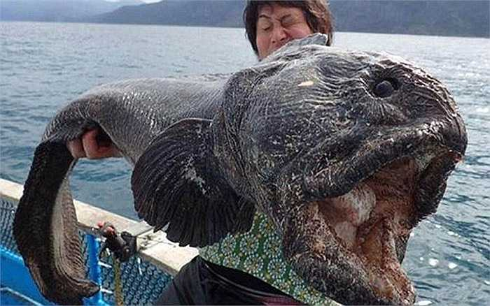 Một con cá chó sói (wolffish) khổng lồ được phát hiện ở ngoài khơi bờ biển Nhật Bản. Thông thường, một con cá chó sói có chiều dài cơ thể gần 1 m nhưng con cá khổng lồ này dài tới 1.8 m