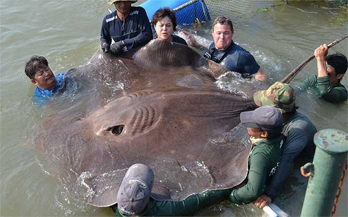 Các kỷ lục về cá nước ngọt khổng lồ đã bị phá vỡ khi ông Jeff Corwin, nhà bảo tồn thiên nhiên người Mỹ bắt được một con cá đuối gai độc rộng 2.5 m, dài 4.3 m và nặng gần 57 tấn trên sông Mê Kong ở Thái Lan