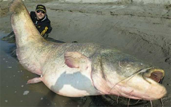 Một con cá da trơn mặt quỷ nặng 127 kg có khả năng nuốt một người trưởng thành này được đánh bắt ở vùng đồng bằng Po của Italia