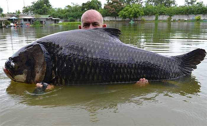 Andy Harman đã phải mất 50 phút chiến đấu với con cá chép Xiêm khổng lồ nặng tới 10 tấn này mới có thể bắt được nó tại một khu nghỉ dưỡng ở Thái Lan