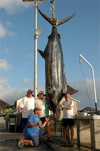 Ông Kevin Gardner đã mang về nhà một con cá Maclin khổng lồ có hình dáng kỳ lạ sau chuyến đi câu cá 10 ngày ở ngoài khơi bờ biển thuộc quần đảo Ascension, Đại Tây Dương. Con cá này nặng gần 600 tấn và dài 6 m
