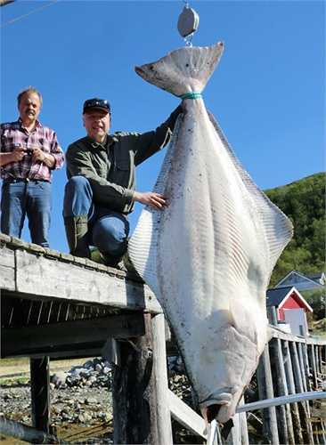 Con cá bơn halibut nặng 194 kg, dài 2.5 m này có thể được chế biến thành 400 phần phi lê