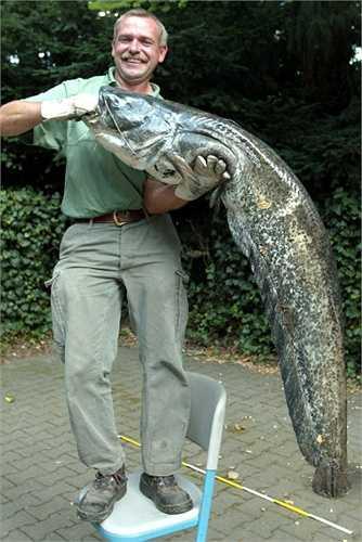 Ông Detlef Berschens đang giữ một con cá trê khổng lồ dài hơn 1.5 m và nặng 50kg mà ông bắt được trong một hồ nước ở Moenchengladbach, Đức