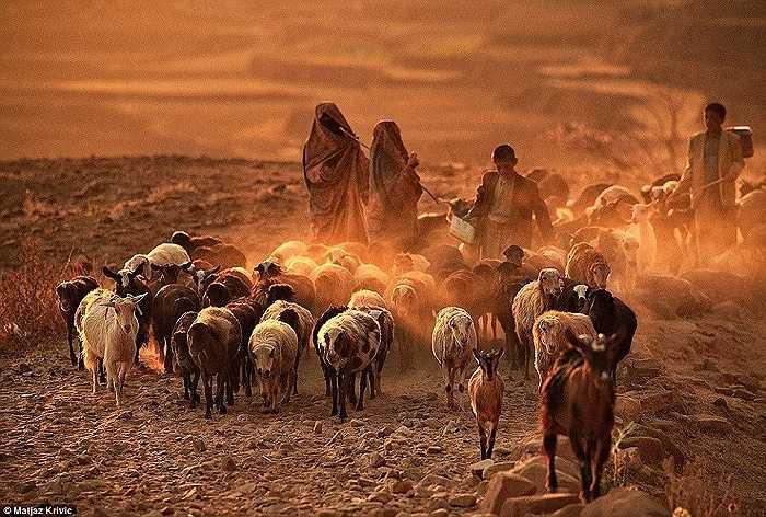 Những mục đồng dẫn đàn dê và cừu của họ về nhà lúc hoàng hôn ở Thula, Yemen