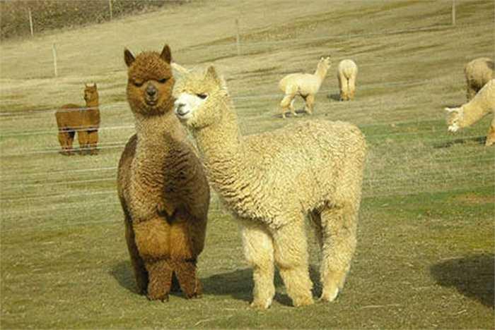 Một người đàn ông ở Quảng Châu, Trung Quốc đã chi tiền để mua 4 con lạc đà Alpaca và thuê căn hộ 4 phòng để nuôi dưỡng chúng