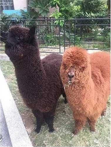 Hai con lạc đà Alpaca trong số 4 con được mua ở Tân Cương và chuyển bằng tàu hỏa về Quảng Châu. 2 con còn lại được đặt mua từ Chile chuyển về