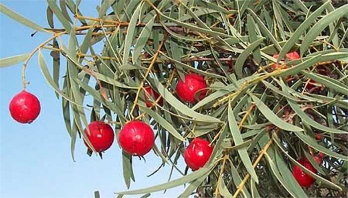 Mỗi cây Quandong thường cho sản lượng 10-25 kg trái cây, 40% tổng trọng lượng là hạt.