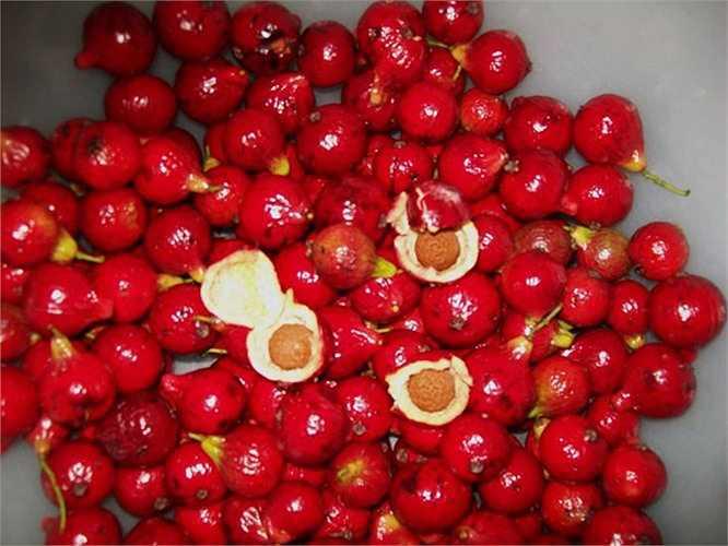 Thoạt nhìn, quả Quandong khá giống với trái ổi đỏ.