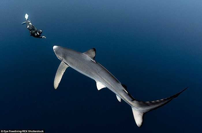 Trong suốt 10 năm làm thợ lặn tự do, Alex Voyer và Alex Roubaud đã ghi lại nhiều bức ảnh cận cảnh về cá voi, cá đuối gai độc, cá heo và cá mập ở vùng biển Azores