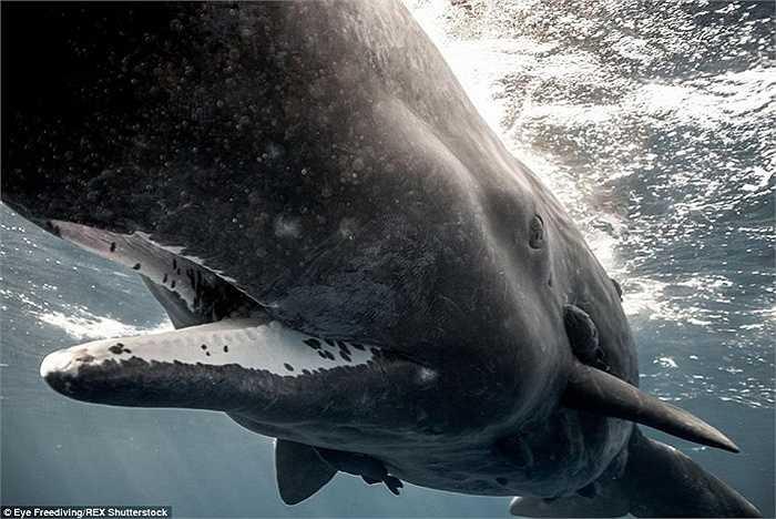 Bức ảnh tuyệt đẹp cận cảnh miệng của một con cá voi