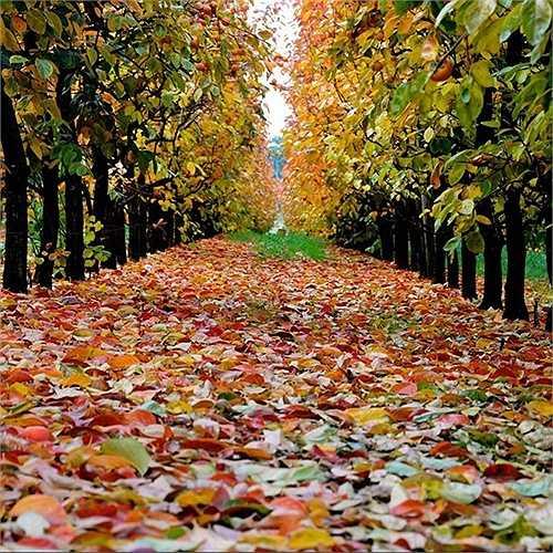 Trang trại Raeburn, Perth Hills – nơi có những rừng cây lá đỏ tuyệt đẹp.