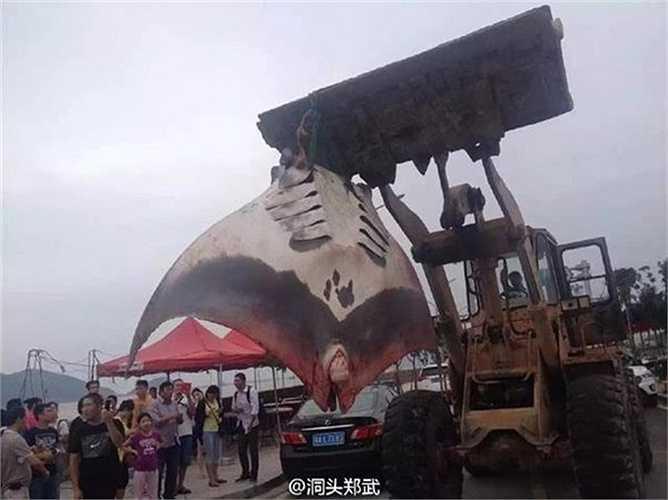 Một ngư dân ở Ôn Châu (Trung Quốc) vừa bắt được con cá đuối gai độc khổng lồ. Trọng lượng của nó lên đến hàng trăm kg