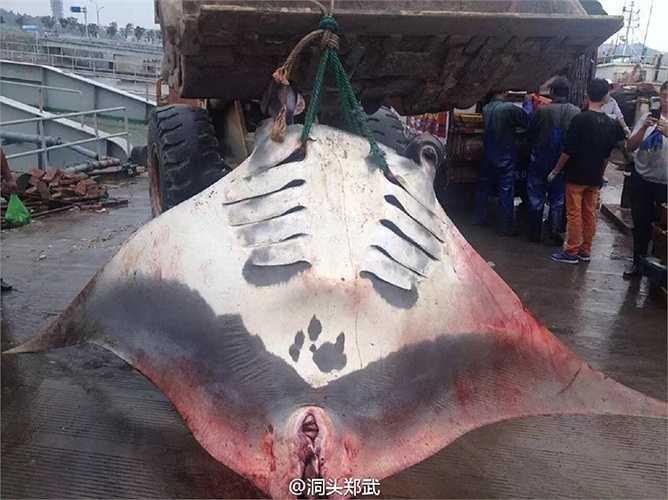 Thậm chí, để vận chuyển được con cá đuối này về nhà, người ngư dân phải thuê chiếc xe chở đất và hàng chục người cùng cẩu lên xe