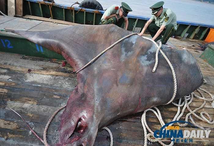 Cách đây không lâu, ngư dân ở Phúc Kiến cũng bắt được con cá đuối nặng hàng trăm kg. Cá đuối là động vật thân mềm sống ở vùng vùng ven biển hoặc độ sâu lên đến 3000m
