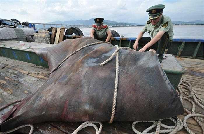 Sau khi đưa nó lên bờ, các ngư dân đã xẻ thịt con cá đuối này đưa đi bán