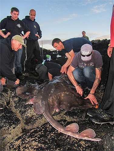 Đại diện Hiệp hội Cá Anh Quốc cho biết, đây là con cá đuối lớn nhất từng được bắt ở nước này. Anh Bennett không có ý định xẻ thịt mà thả nó về biển ngay sau đó