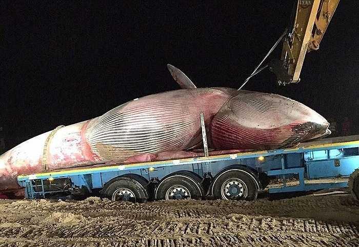 Một con cá voi khổng lồ đã bị mắc cạn và chết ở ngoài khơi bờ biển thuộc vùng Portstewart (Bắc Ireland)