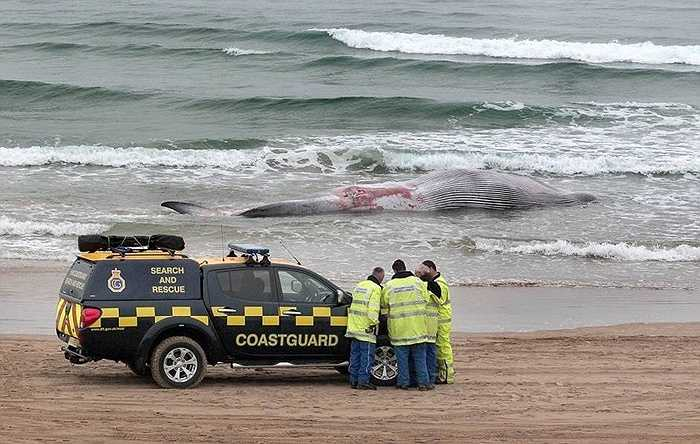 Đây là con cá voi thứ ba dạt vào bờ ở Ireland trong 8 năm qua. Ban đầu người ta dự đoán có thể con cá voi quá già nên bị chết nhưng thực tế đây là cá voi mới trưởng thành