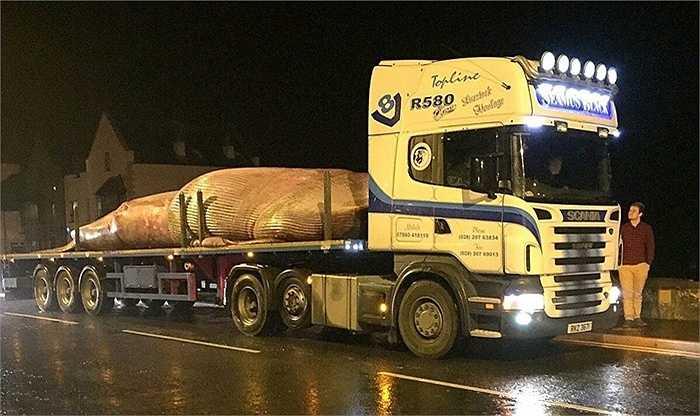 Chiếc xe ô tô tải cỡ lớn được dùng để chở con cá voi từ biển vào bờ