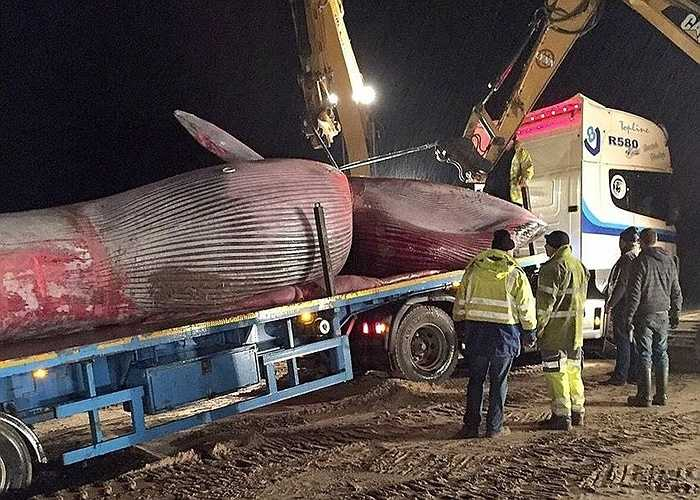 Cá voi vây còn gọi là cá voi lưng xám, chúng là động vật có vú, sống trung bình khoảng 65 năm