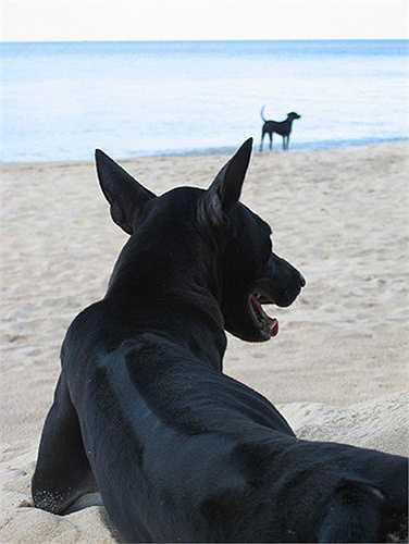 Chó Phú Quốc là giống chó quý hiếm bậc nhất thế giới và hiện trên thế giới chỉ có 800 chú chó này được đăng ký.