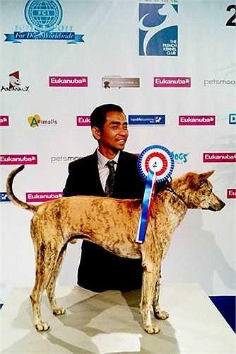 Một chú chó xoáy Phú Quốc từng được vinh danh trong cuộc thi chó đẹp thế giới năm 2009. Đó là một con 'khuyển vương' tên Đốm. Với nét hoang dã, ngang tàng, Đốm trở thành chú chó Phú Quốc đoạt giải quán quân đầu tiên của Việt Nam, được Hiệp hội những người nuôi chó giống Việt Nam (VKA) cấp giấy chứng nhận 'vô địch Việt Nam'. Bên cạnh đó, Đốm còn đoạt giải nhì chó đẹp quốc gia (tất cả các giống chó) trong cuộc thi VKA dog show 2009 tại Paris.