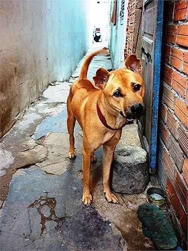 Chó vàng lửa không phải màu vàng bò mà là màu vàng sậm ánh sắc đỏ, còn mực tuyền thì chó phải đen tuyền từ đầu đến đuôi không được lẫn những sợi lông màu khác.
