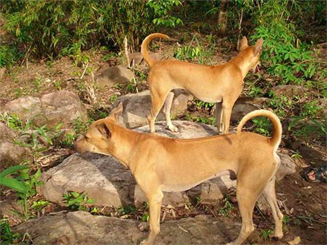 Thuộc giống chó săn nên chó Phú Quốc thuần chủng đẹp phải có cơ bắp săn chắc, dáng thon cao, lông sát, tai đứng, đuôi cong hình móc câu, lưỡi có đốm đen.