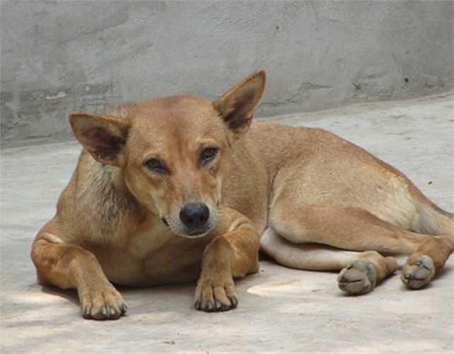 Vài năm trở lại đây, nhiều khách du lịch trong nước và nước ngoài đã đến Phú Quốc để săn lùng và sưu tầm giống chó quý hiếm này.