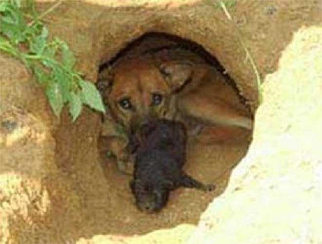 Chó Phú Quốc là giống duy nhất biết đào hang để sinh sản. Đặc biệt, giống chó này còn có biệt tài săn thú, bơi dưới nước giỏi như rái cá nhờ chân có màng như chân vịt.