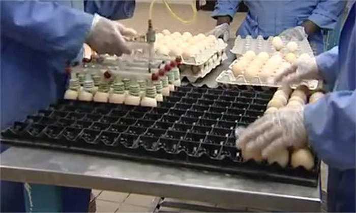 Qua những hình ảnh sau đây, công ty Arab Qatari của Ả Rập đã giới thiệu công nghệ nuôi gà thịt từ lúc ấp trứng tới khi gà được thịt để cung cấp trên thị trường.