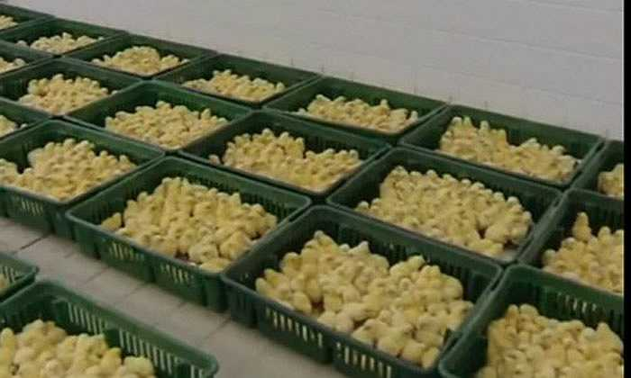 Sau khi được đưa vào lò ấp, những chú gà con vàng ươm đã ra đời.