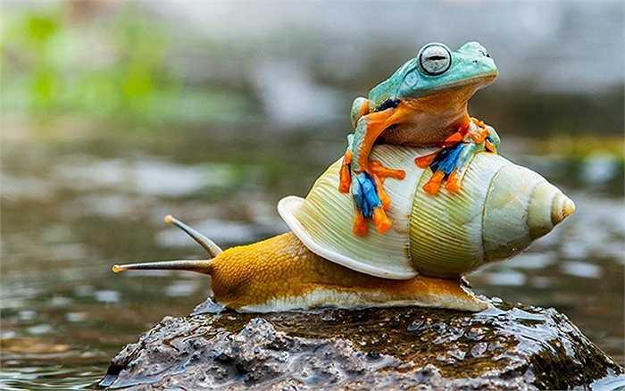 Hình ảnh con ếch quá giang trên lưng ốc sên