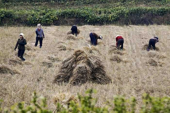 Nông dân Triều Tiên làm việc trên cánh đồng ở ngoại ô thủ đô Bình Nhưỡng