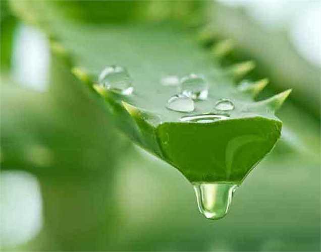 Nước ép lô hội: Hãy thử nước ép lô hội là một chất giải độc tốt. Nó có hiệu quả trong việc làm sạch ruột và phục hồi chức năng tiêu hóa. Ngoài ra, những người bị táo bón có thể được hưởng lợi từ các tính chất nhuận tràng của lô hội.