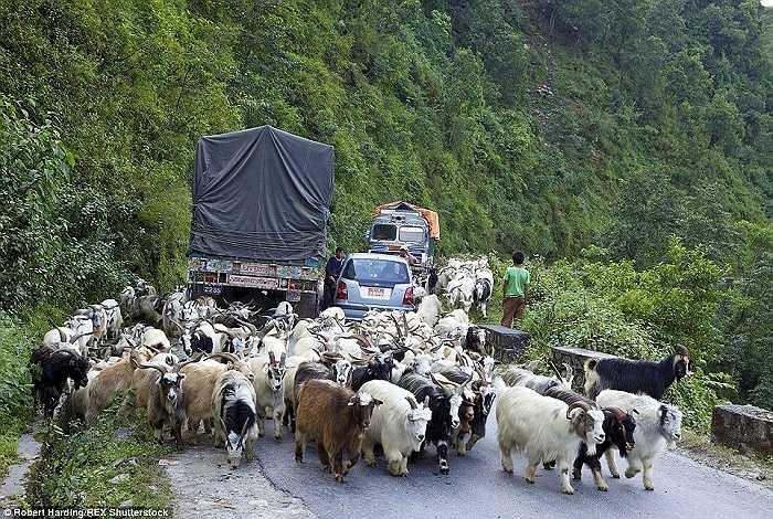 Động vật luôn là nguyên nhân gây ùn tắc giao thông nghiêm trọng vào giờ cao điểm trên con con đường giữa 2 thành phố Pokhara và Nayapul, Nepal