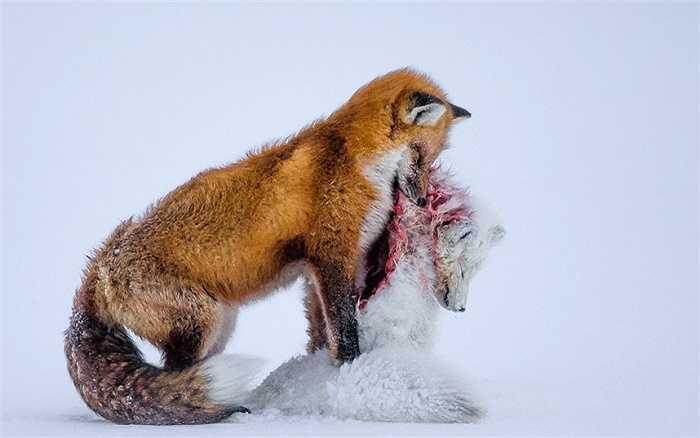Vượt qua 42,000 bức ảnh đến từ 96 quốc gia, nhiếp ảnh gia người Canada, Don Gutoski với bức ảnh 'Tale of two foxes' đầy ám ảnh về cuộc sống hoang dã ở Bắc cực đã vinh dự được trao giải thưởng danh giá nhất của cuộc thi