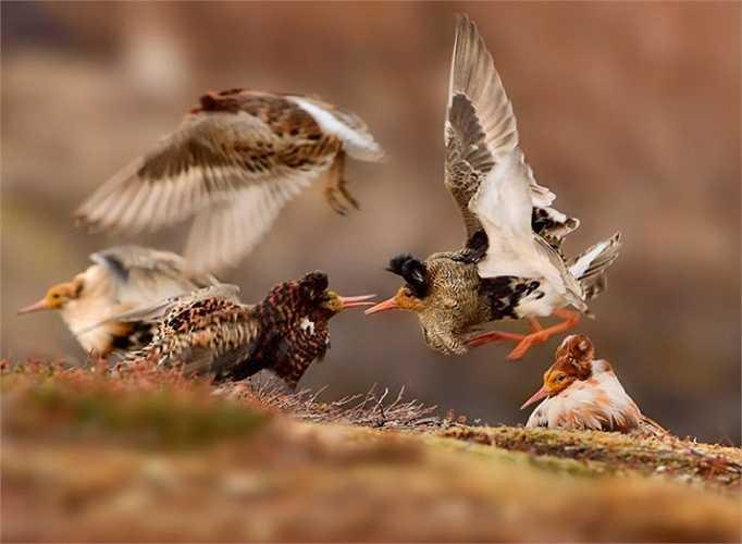 Hình ảnh về cuộc tranh chấp lãnh thổ giữa những con chim ruff đã mang về cho chủ nhân của nó, Ondrej Pelánek, giải thưởng Nhiếp ảnh gia trẻ tuổi về Đời sống hoang dã (độ tuổi 11-14)