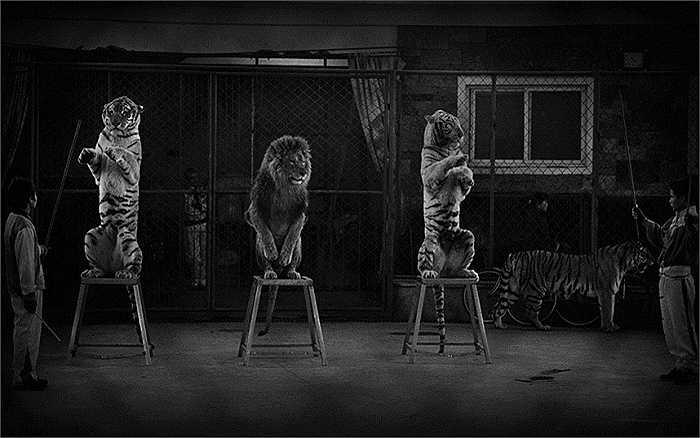 Britta Jaschinski với bức ảnh về cuộc sống trong lồng sắt đằng sau ánh đèn sân khấu của những con sư tử đã được trao giải Phóng viên ảnh Động vật hoang dã