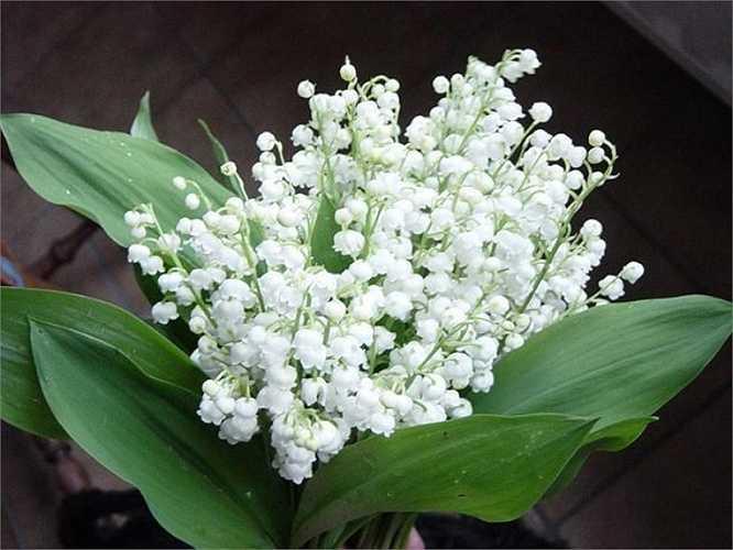 Mỗi bó hoa lan chuông thể hiện lòng biết ơn, tình cảm chân thành của người tặng với người phụ nữ của đời mình. Trên thị trường, lan chuông không có nhiều, chúng nở rộ từ khoảng tháng 5, vì thế, để mua được hoa, khách phải đặt tại các hàng hoa nhập khẩu.