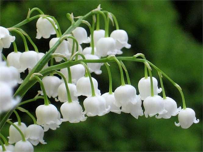Hoa lan chuông cũng có ý nghĩa rất sâu sắc về tình mẫu tử. Ngoài ra, màu trắng tinh khiết của loài hoa này cũng dễ liên tưởng đến sự thanh cao, phú quý của người phụ nữ.