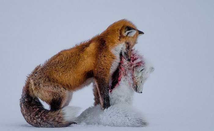 Vượt qua 42,000 bức ảnh đến từ 96 quốc gia, nhiếp ảnh gia người Canada, Don Gutoski với bức ảnh 'Tale of two foxes' đầy ám ảnh về cuộc sống hoang dã ở Bắc cực đã vinh dự được trao giải thưởng danh giá nhất của cuộc thi Nhiếp ảnh gia về Thiên nhiên hoang dã năm 2015