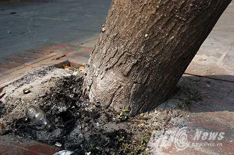 Phần rễ cây đã bị bật lên khỏi mặt đất, thành nơi hóa vàng, vứt rác của người dân.