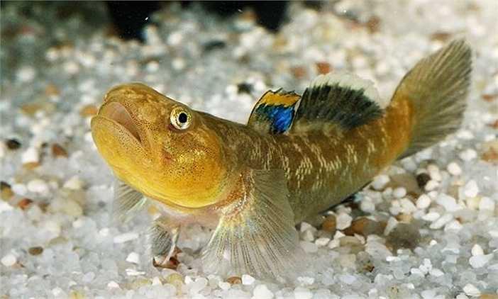 Mới đây câu chuyện đi tìm bạn tình của một loài cá bống si tình đã khiến nhiều người không khỏi ngưỡng mộ đó là một thiên tình sử, tình yêu thực sự trong vương quốc động vật.
