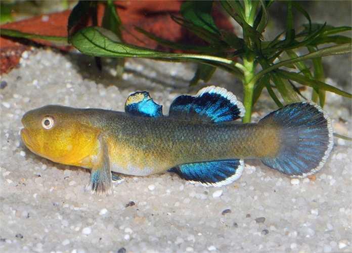 Loài cá bống này được gọi là cá bống sa mạc, được tìm thấy ở Hồ Eyre, một hồ nước nhỏ nằm trong sa mạc khô cằn ở Nam Úc. Nó được ví như một vận động vận viên bơi lội nghiệp dư khi chỉ cần một dòng nước nhỏ rộng vài cm, cá bống sa mạc cũng quyết tâm di chuyển.