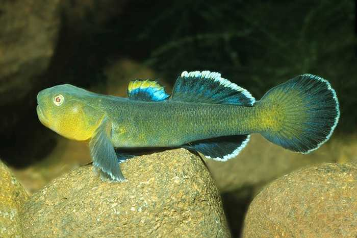 Điều đặc biệt là tuy có sức chịu đựng bền bỉ đáng kinh ngạc nhưng khả năng bơi lội trung bình lại khiến cho loài cá này xấu hổ.
